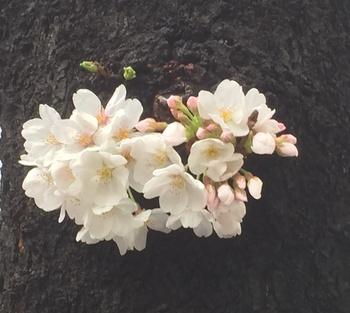 3.22八重洲桜通り.JPG